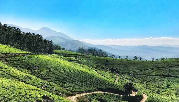 Tea_Garden_of_Munnar